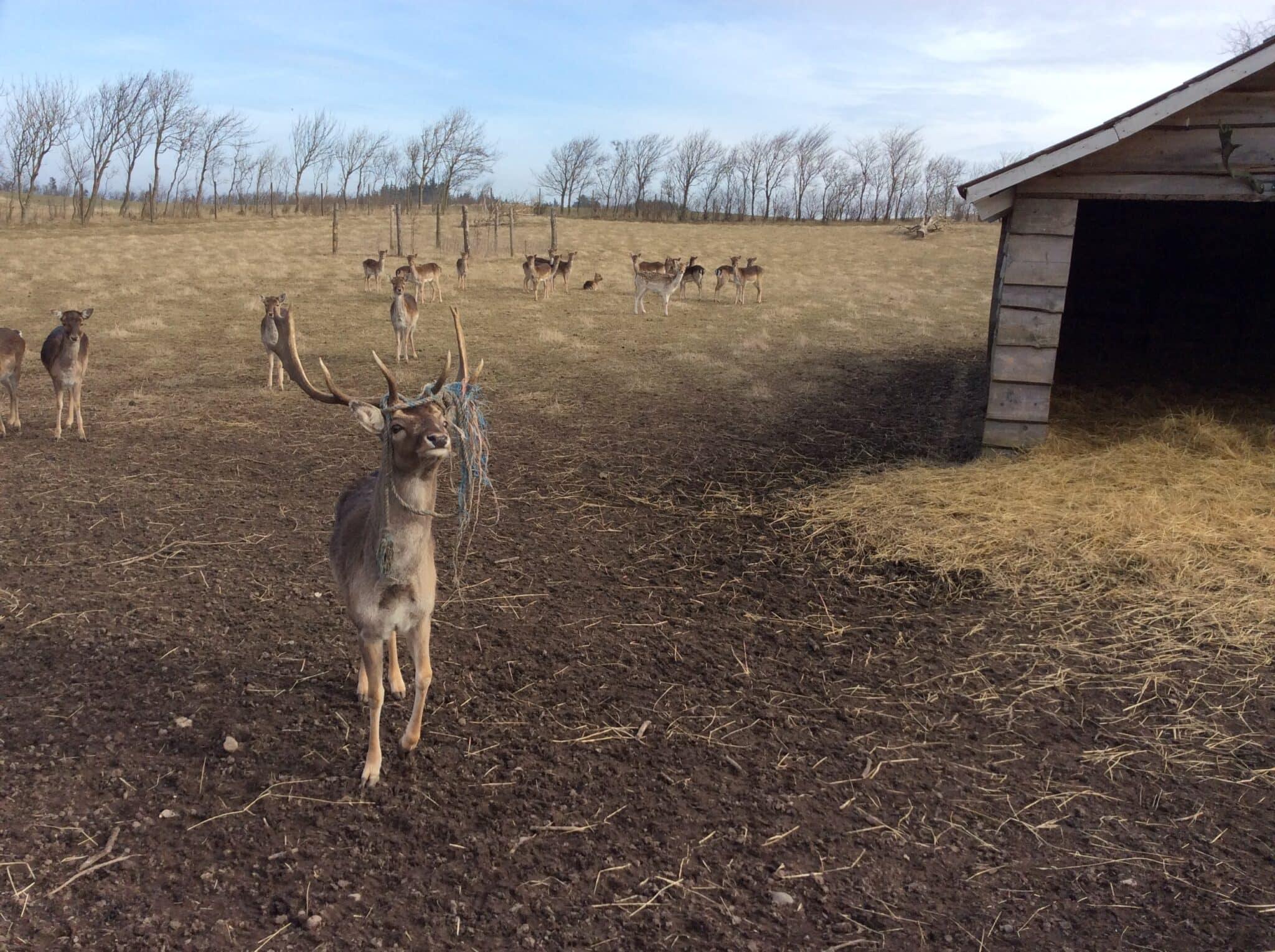 Mange hjorte