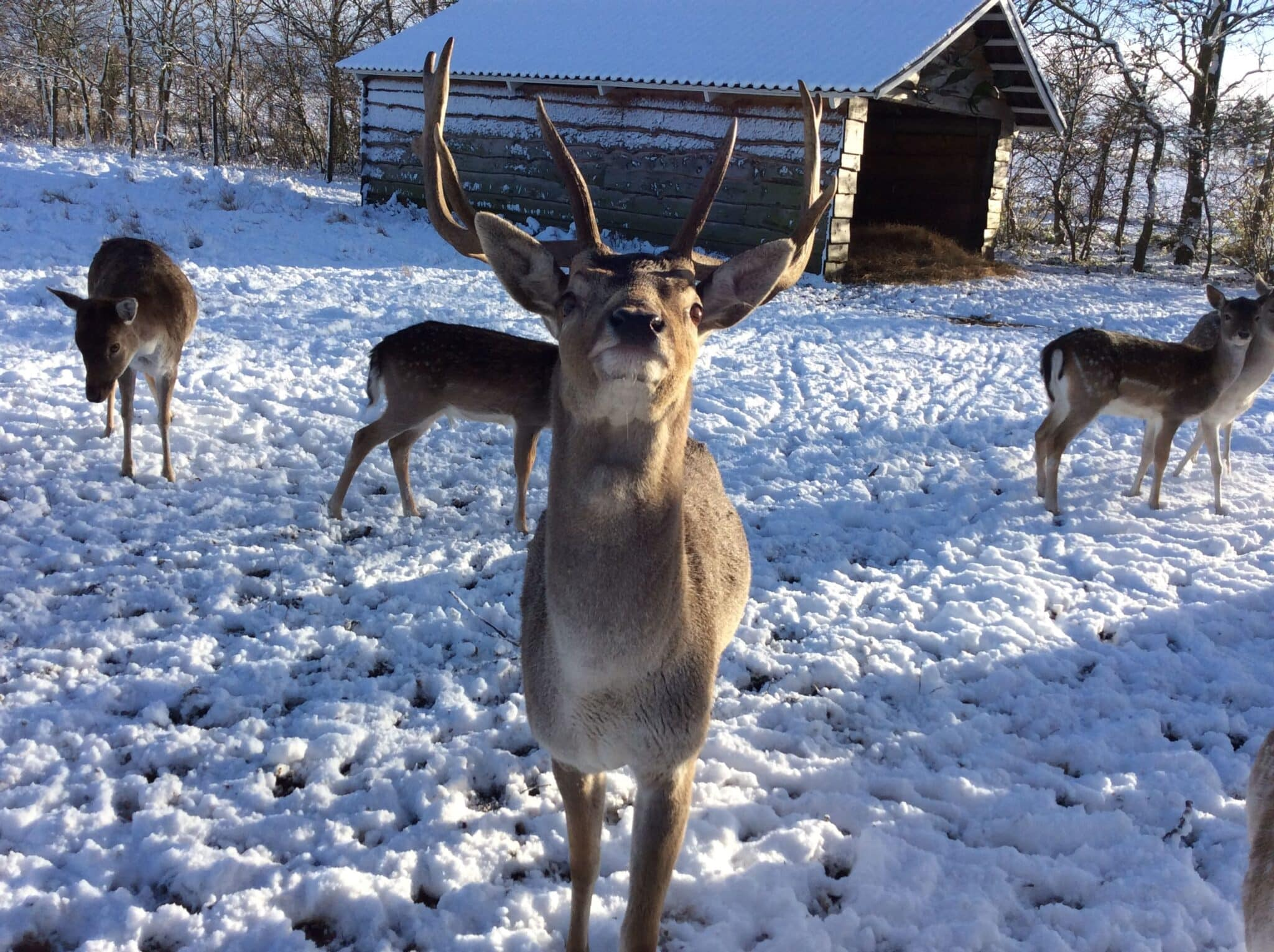 Hjort i vinterlandskab